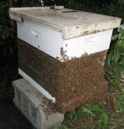 Bee Hive with bees outside of box