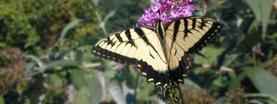 butterfly pollinating