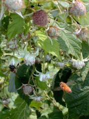 Honey Bee and rasberry